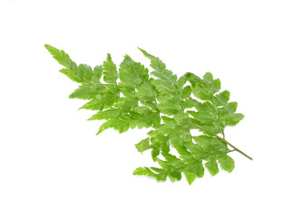 Fern  with white background