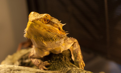 Bearded dragon watches the camera.