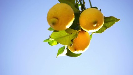 wet lemons on a branch with blue sky