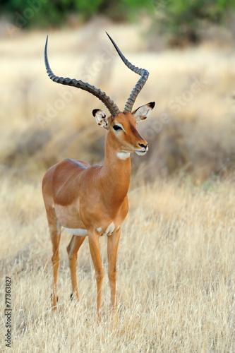 Fotobehang Antilope Impala in savanna