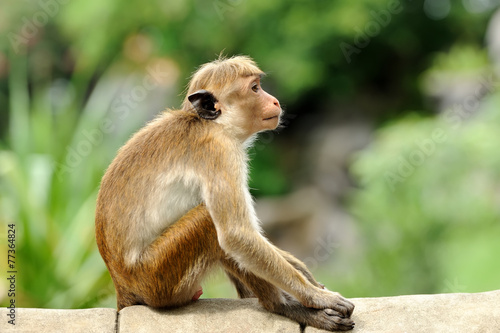 Poster Aap Monkey in the living nature