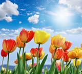 Tulpen: Frühlingsboten, Frühlingserwachen :)