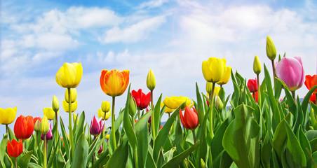 Frühlings-Erwachen: Tulpenfeld unter blauem Himmel :)
