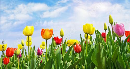 Poster Tulp Frühlings-Erwachen: Tulpenfeld unter blauem Himmel :)