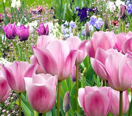 Frühlingserwachen:  Frühlingsblumen in pink und lila :)