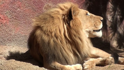Adult African Lion Yawning and watching the sky