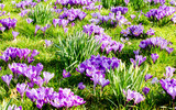 Frühlingserwachen: violetter Frühlingstraum :)