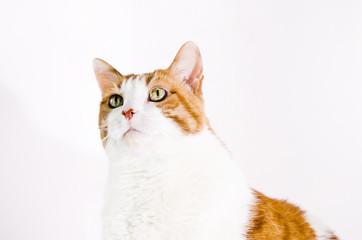 gatta razza europea bianca e rossa