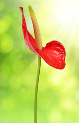 Dewy red anthurium flower on green natural background