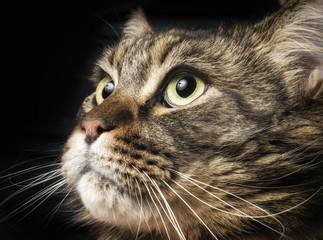 Primo piano di gatto maine coon