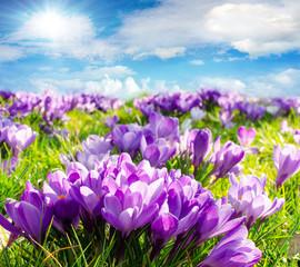 Frühlingserwachen: Krokusse unter blauem Himmel :)