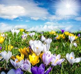 Frühlingszeit: Krokusse unter blauem Himmel :)