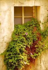 Overgrown Window of Old Building