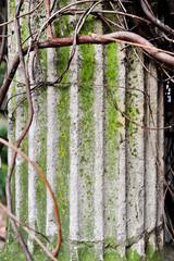 Creeper plant around doric column