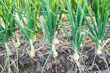Onion plant in the farm ,agricultural in Thailand