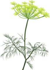green dill blossom isolated on white
