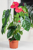 f Flamingo flower