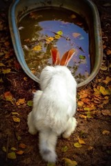 Bunny. White Rabbit, drinking water.