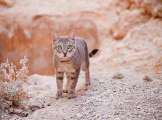 Young cat in desert