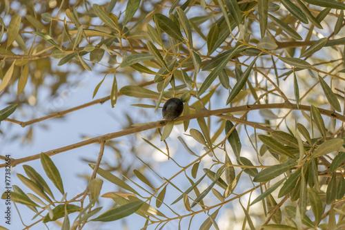 Tuinposter Olijfboom Single black olive ripening on a tree