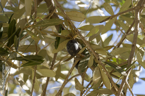 Tuinposter Olijfboom Single black olive ripening on a tree