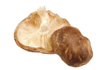 Closeup of two shitake mushrooms isolated on white background.