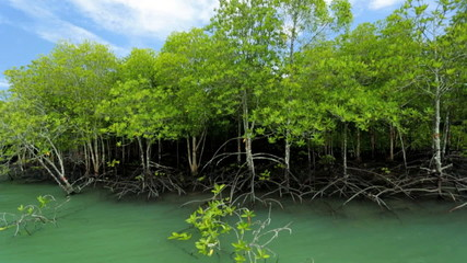 Aerial roots visible on mangrove trees, Thailand