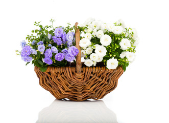 blue and white Campanula terry flowers in the wicker basket, iso