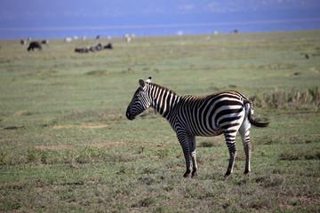 Zebra, parco lago Nakuru