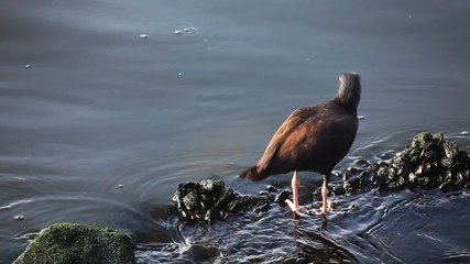 Black Oystercatcher on the shore of the Pacific Ocean