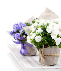 Campanula terry with blue and white flowers in paper packaging,