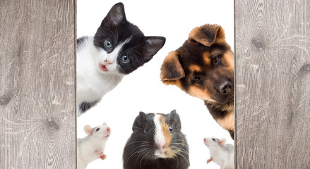 Puppy and kitten and rodent peek