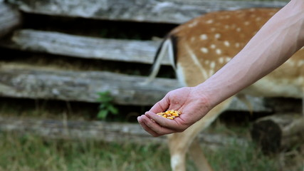 HD1080p: Deer eating corn from man's hand