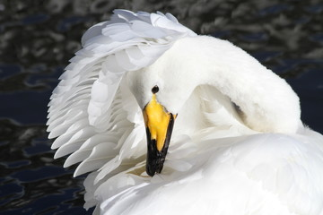 Iceland, Swan cleaning itself