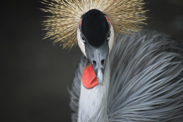 Indonesia, Bali, Gray Crowned Crane