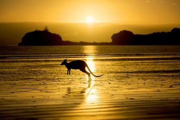 Australia, Silhouette of kangaroo on beach
