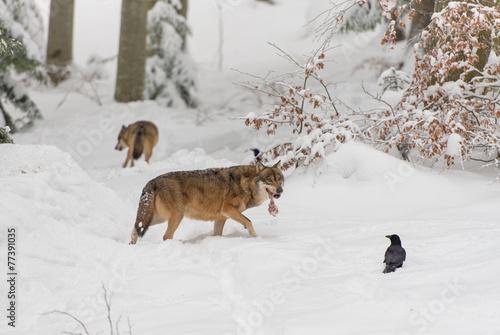 Foto op Plexiglas Wolf Wolf (Canis lupus) in winterlichen Wald