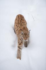 Luchs (lynx lynx) im Schnee