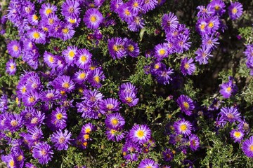 flower-bed with purple chrysanthemums