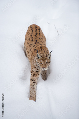 Fotobehang Lynx Luchs (lynx lynx) im Schnee