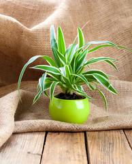 green Chlorophytum  plant in the pot, on sackcloth wooden backgr