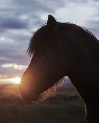 Iceland, Reykjavik, Close-up of horse's head at sunset