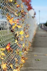 Colorful fall leaves lodged in chain link fence
