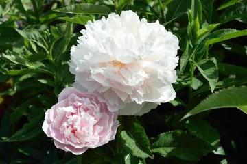 Pfingstrosen  - Paeonia - Blüte der Zuchtsorte 'Yukidoro'