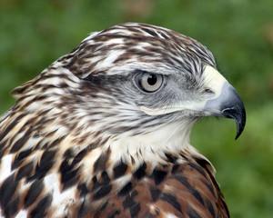 Portrait of hawk