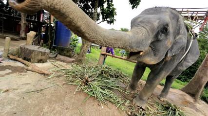 Elephant eating in playful moment, Phuket, Thailand