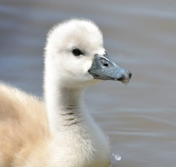 United Kingdom, England, Somerset, Cute baby swan