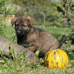 Amazing puppy of German shepherd with pumpkin