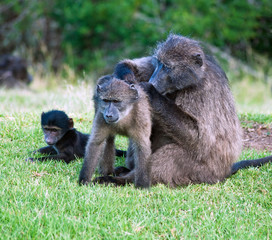 Eastern Cape, South Africa, African Baboon
