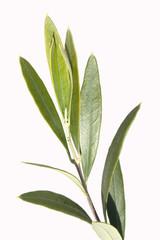 Olivenbaumblaetter, Olea Europaea